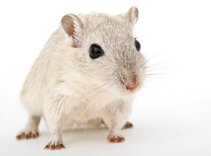 raton_